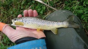 Brown Trout — Sylvain Groud