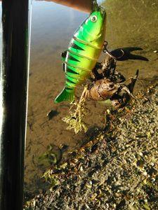 Red Swamp Crayfish — Jérémy Poiron