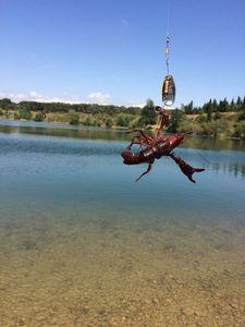 Red Swamp Crayfish — Julien Lesoudard