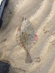 European Flounder — Anthony Legrand
