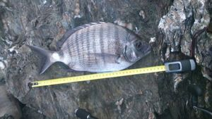 White Seabream — breizh fish addict