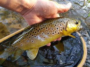 Brown Trout — Eric Guillaume