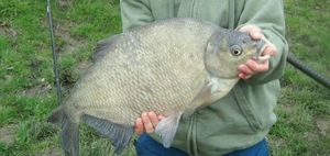 Common Bream — Benjamin Vanbruaene