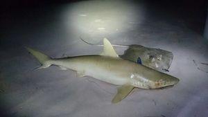 Lemon Shark — Julien PONIN