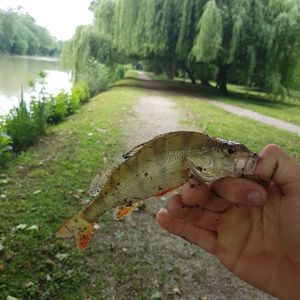 European Perch — Flavio Couppey