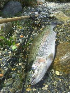 Rainbow Trout — Bruno  Cot