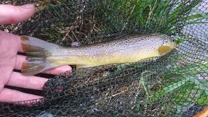 Brown Trout — Léo Andry