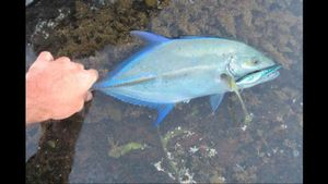 Carangue à Points Bleus — Andy Gilbert