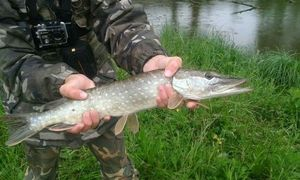 Northern Pike — Kr Fish