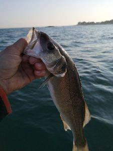European Bass — Christophe  Papin
