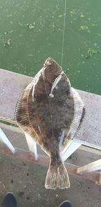 European Plaice — Anthony  StreetFishingDK