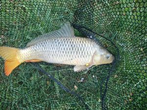 Common Carp — Guillaume Caponi