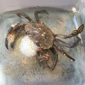 Velvet Swimming Crab — Julien PAYRAT