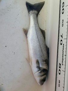 European Bass — Pierre Batany