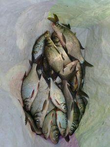 Common Bream — Dav El Poissonnix
