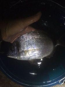 Sar à Tête Noire (Museau Pointu) — Matty Fishermen13