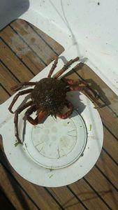 European Spider Crab — Team fishing 29