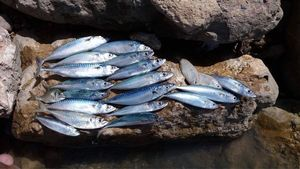 Mackerel — Pierre Telloin