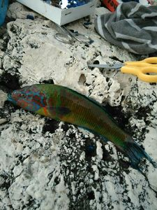 Ornate Wrasse — Lou Gobi