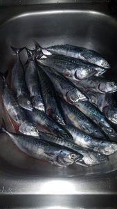 Skipjack Tuna — Julien PONIN