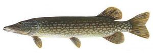 Northern Pike — Arnaud Combeuil