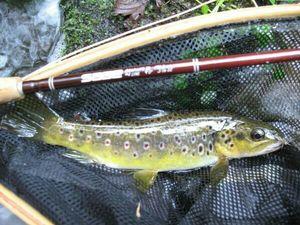 Brown Trout — Le Pêcheur Du 31 Gaillardou