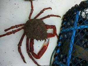 Common Spider Crab — Yannick Lg