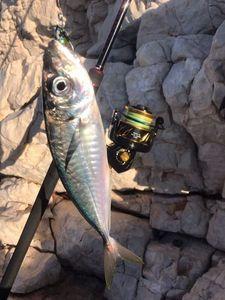 Mediterranean Horse Mackerel — Dam's s