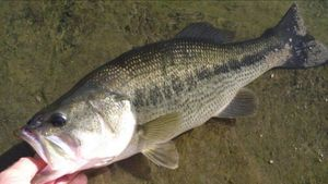 Smallmouth Bass — Quentin Georget