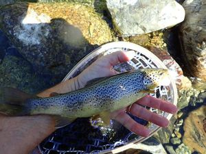 Brown Trout — Patrick Bouland