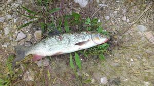 Barbel — Chris Riderdog's