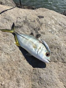 Bigeye Trevally — Tiago Shore Jigging