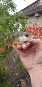 European Perch — Olaf Jean Antoine