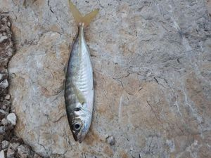 Mediterranean Horse Mackerel — Chasseur Ceuilleur