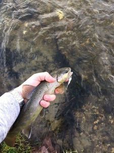 Brown Trout — Warren Toquart