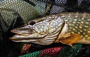 Northern Pike — Robin Grosselet--vernhes