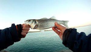 European Bass — Jeremy  Lepiller
