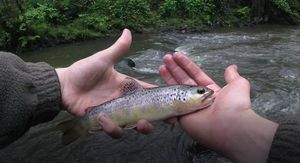 Brown Trout — Axel Seltensperger