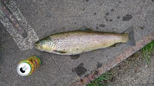 Brown Trout — Bastien  Zarzoso