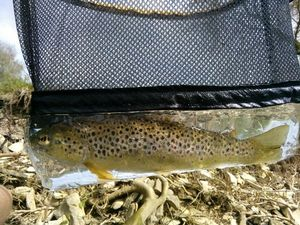 Brown Trout — Laurent Martinez