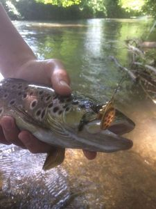 Brown Trout — Hugo Mariotte