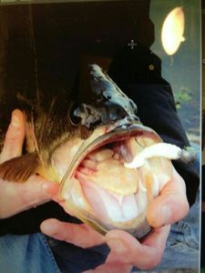 Largemouth Bass — Andy Tardieu