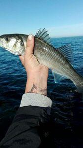 European Bass — Dark Fishing 66