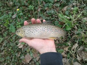 Brown Trout — Damien Marboeuf