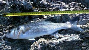 European Bass — breizh fish addict