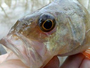 Perche Commune — P Fish