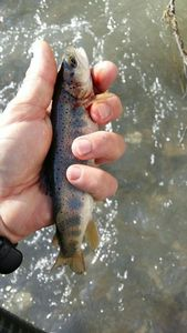 Brown Trout — Patrice Gruit