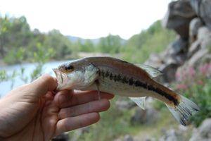 Largemouth Bass — Amans Rodrigo