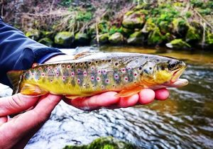 Brown Trout — Cédric Courtois