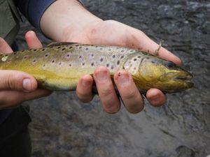 Brown Trout — Joris Fauconnier